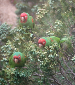 Parrots in Glen Park