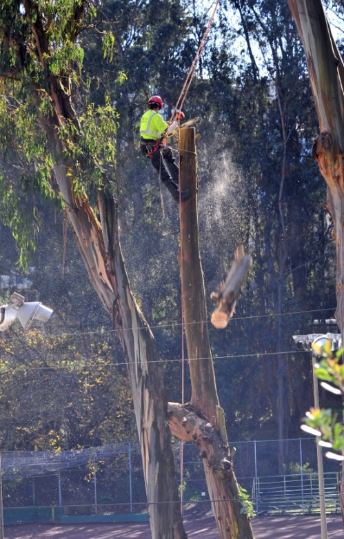Work ers being removing eucalyptus trees by the tennis courts at Glen Canyon Park in preparation for the renovation of the Rec Center, Courts, Play Area and Entrance. Photo: Michael Waldstein