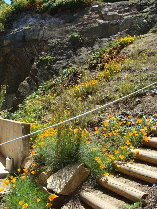 This steep hillside garden, in the area of Malta Drive near O'Shaughnessy Blvd., will be a new one on the tour this year.  The owner/gardener has done wonders with adaptable native plants in this challenging terrain. Photo by Margo Bors.