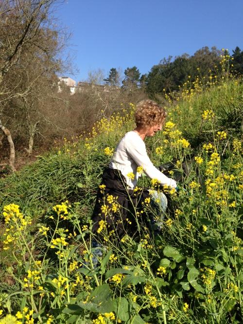Alison weeding mustard.