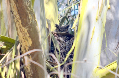 An owl nesting in Glen Canyon Park. Photo by Evelyn Rose.
