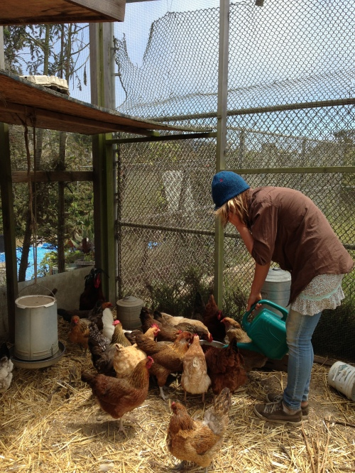 ECOSF staff member Tori Jacobs watering chickens at student farm on SFUSD property. Tori can multi-task. She's talking to Davin Wentworth-Thrasher, another ECOSF staff member.