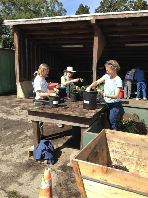 Friends of Glen Canyon Park volunteers Kay Westerberg, Gloria Koch and Alison Mitchell potting California native plants on a sunny June 26 day in Rec and Park Golden Gate Park nursery.