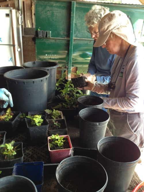 Mary Huizinga and Jean Conner re-potting California native plants, working in the shade of Rec and Park potting shed.