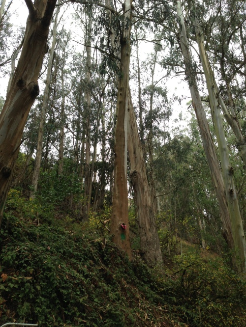A eucalyptus tree scheduled for removal along Banana Slug Way, which runs parallel to Islais Creek. Hazardous trees being during the 15 month project will be replaced by trail side restoration planting of native shrubs.