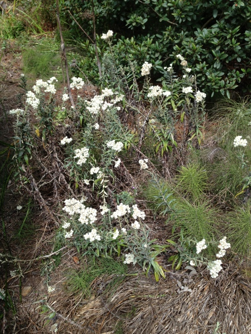 Pearly everlasting, one of many California native plants that provide habitat for Glen Canyon insects.