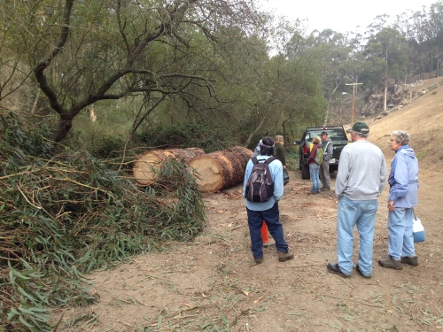 Friends of Glen Canyon Park study part of a eucalyptus tree removed from Islias Creek, which is part of the 15 month Glen Canyon Trails Project that began on October 29. For the full scope of the project link to Fall 2013 edition of the Glen Park News (Vol 31, No. 3 - Pages 12-13). The newspaper can be found at the top of this web page under title back issues.