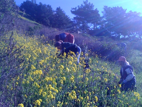1.Friends of Glen Canyon Park removing mustard from a canyon slope.
