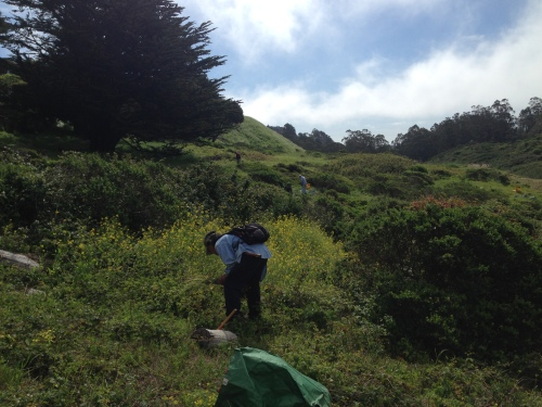 3.Steve Uchida and Jean Conner, two Friends of Glen Canyon Park, bending to remove mustard from a Glen Canyon hillside.  April 9, 2014.