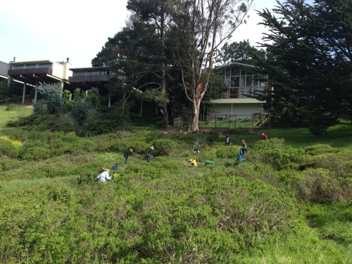 4.Friends of Glen Canyon Park volunteers and Natural Areas Programs gardeners fan out across Glen Canyon shrub land and remove inimical mustard and radish from the slope.  April 10, 2014