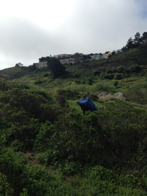 5.Rec and Parks gardener hauling tarp full of mustard to Radish Hill in Glen Canyon. The mustard will decompose there. Notice, on the horizon, the promontory, one of the highest places in San Francisco. El Sereno Court towers over Glen Canyon on the west side of O'Shaughnessy Blvd. Before this hillside was bulldozed in the late 1930s this hillside was the western most part of Glen Canyon. April 10, 2014