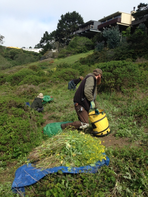 Friends of Glen Canyon Park, supervised by a Rec and Parks gardener, remove mustard from an eastern canyon slope. Work party took place on Wednesday, April 10.