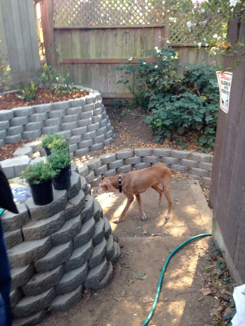 Zelda, Adam King's dog, checking out the Surrey Street garden.