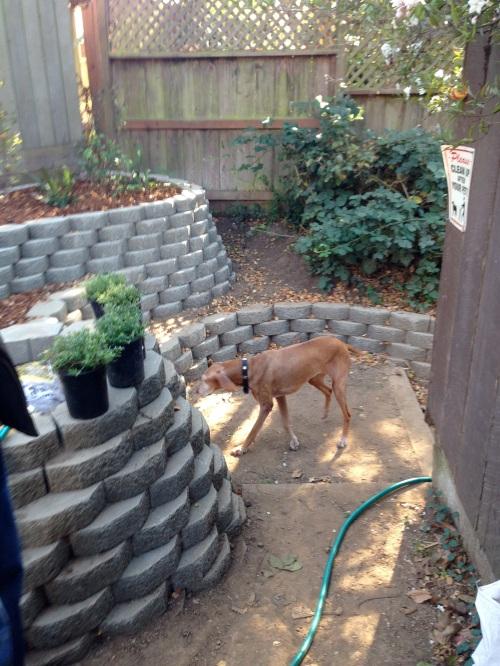 Zelda, Adam King's dog, checking out the Surrey Street garden.