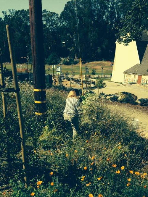 Volunteer Darlene Shadel among California poppies, weeding radish and mustard on June 13.