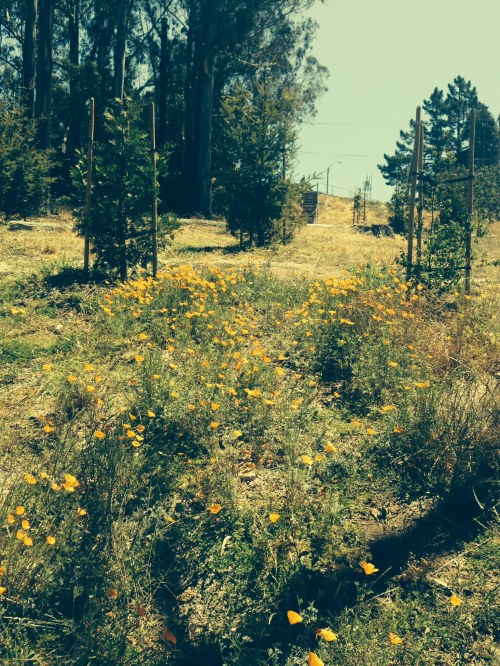 California poppies freed from smothering wild mustard, after a June 13 work party that included Rec and Parks gardeners and Glen Park Garden Club volunteers.