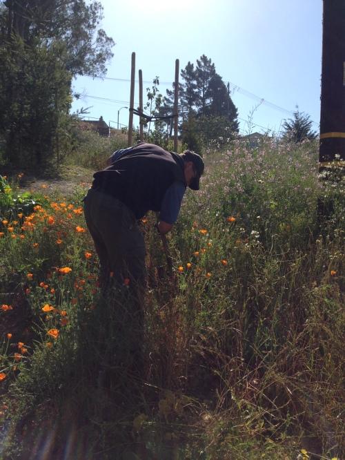 Rec and Parks gardener, Wayne Kappelman, weeding mustard in Glen Canyon Park on June 13.