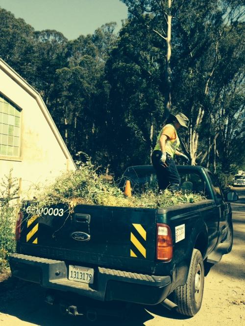 RPD gardener tamping mustard aboard her truck on June 13.