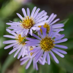 Aster, a Glen Canyon wildflower that goes to seed in the summer. The seed is collected for germination and later reintroduction in the canyon. Photo by Rich Craib.