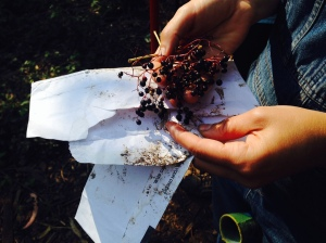 Blue elderberry seeds being collected in Glen Canyon.