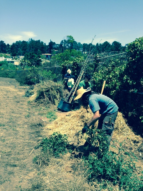 ECOSF volunteer clipping Cape ivy and Himalayan blackberry near School Farm beehives.