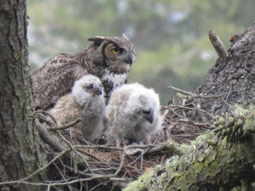 a GREAT HORNED OWL  AND TWO CHICKS  APRIL 8 2016    IMG_4047-1